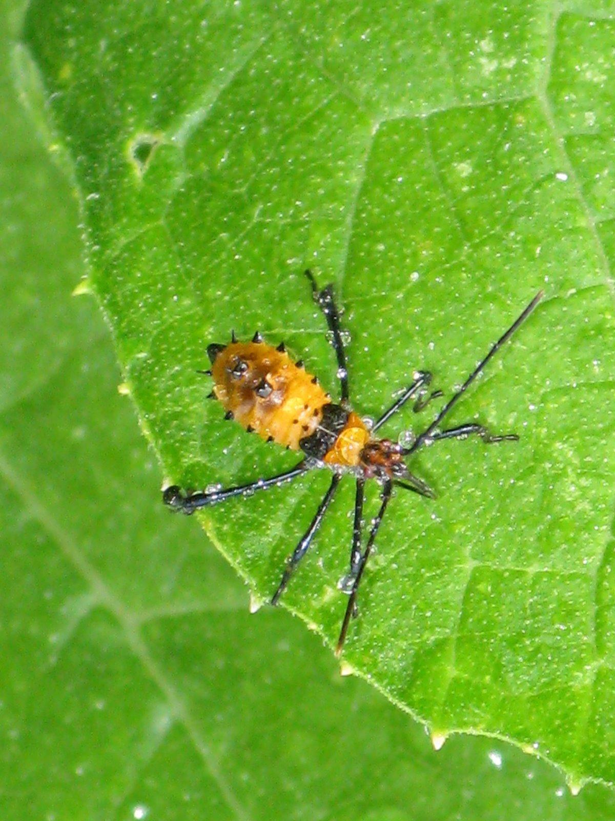 leaf-footed bug | willsfamilyacres