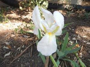 Cemetary Iris