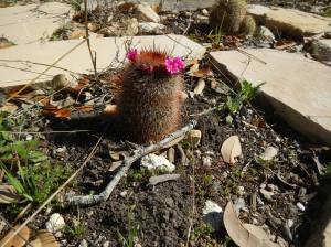 Cactus Flower already blooming