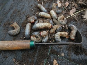 Pile of Rhinoceros Beetle Larva