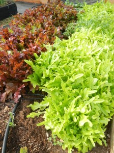Lettuce and Radishes