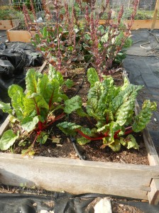 Swiss Chard, Beet Greens, Spinach, Collards