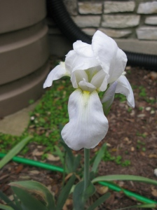 Cemetary Iris - Probably the only type that will bloom this year