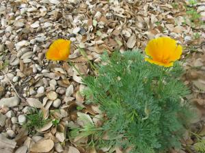 California Poppy - I miss these from Phoenix, and finally have my own