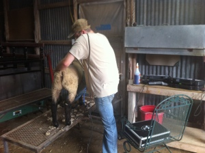 Eric, shearing Wrangler