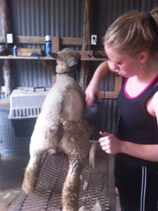 Aspen, shearing one of our girls