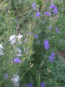 Last of the Larkspur
