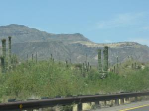 Saguaros - Almost in Bloom