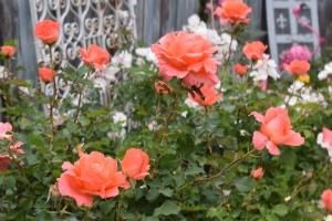 Livin' Easy Roses