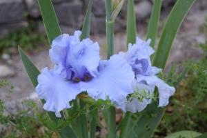 Cafe Bleu Iris