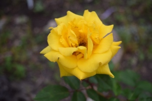 Grandma's Yellow Rose