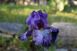 Celestial Explosion Iris