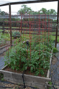 Tomatoes - 1 of 3 beds