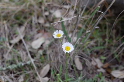Prairie Fleabane