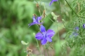 The last Larkspur