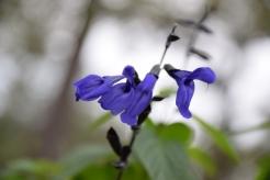 Black and Blue Salvia