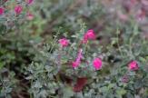 Pink Skullcap