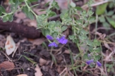 Purple Skullcap