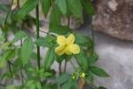 Primrose Jasmine